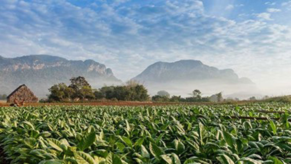 Tobacco fields in the beautiful Viñales Valley
