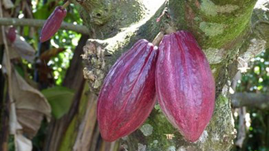 Cocoa fruits on the tree