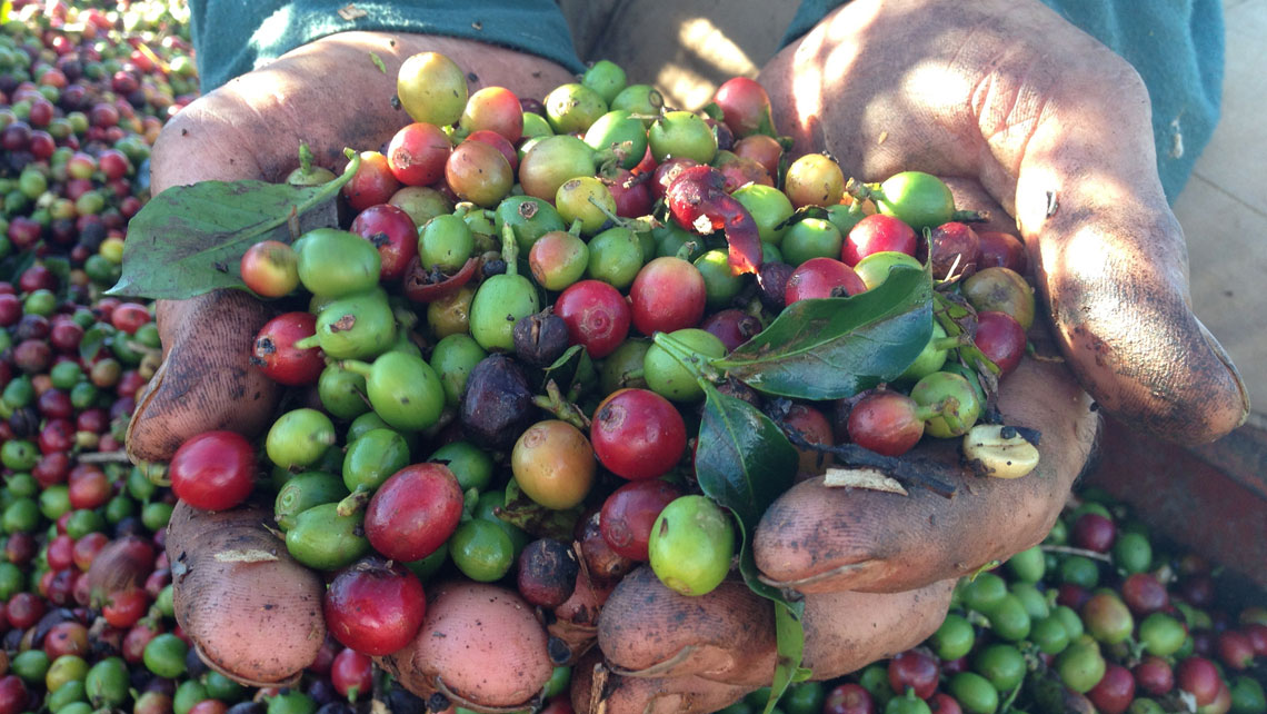 Farmer holding ripe coffee beans