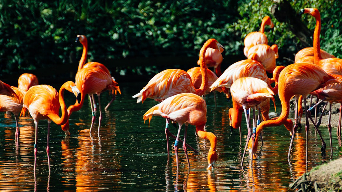 Ten fun facts about Cuba's Caribbean flamingos