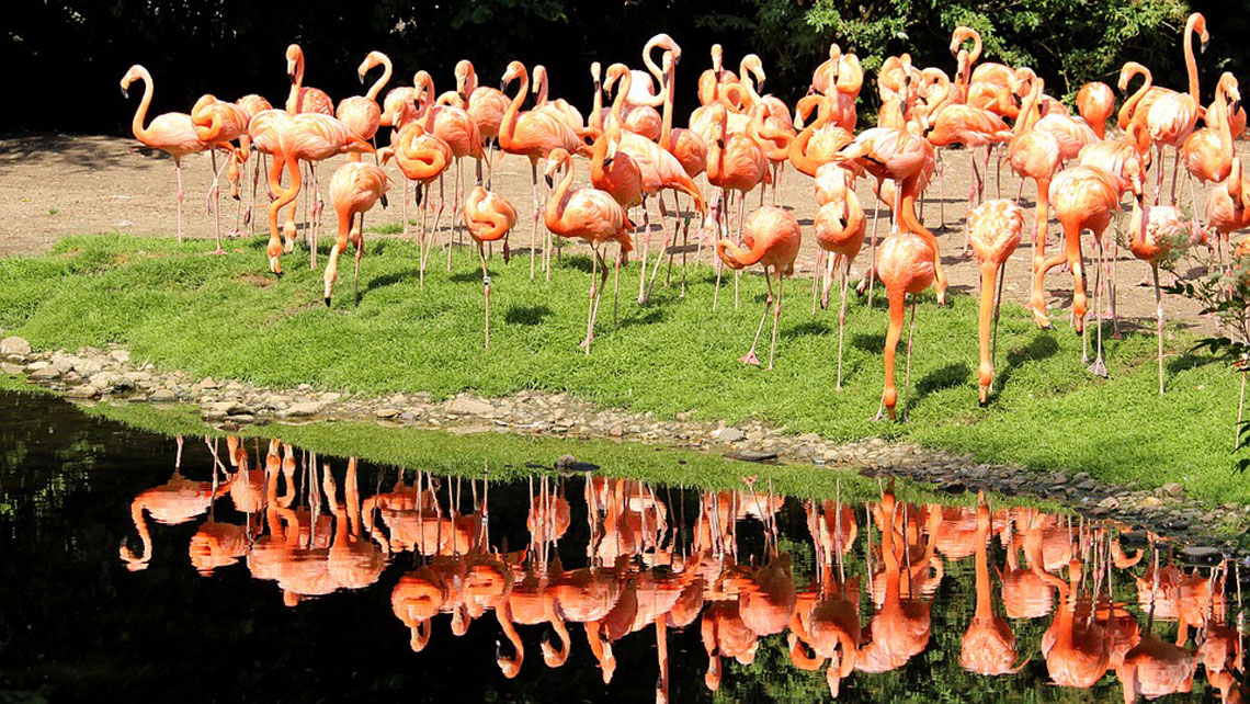 A flock of flamingos standing by a lagoon in Cayo Santa Maria