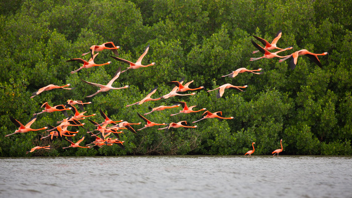 A flock of flamingos flying in Guanaroca, Cienfuegos