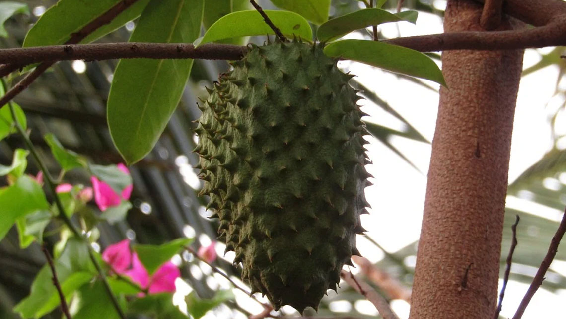A Soursop fruit in a tree