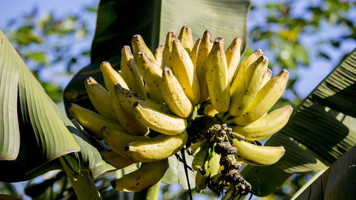 A bunch of ripe bananas in the tree