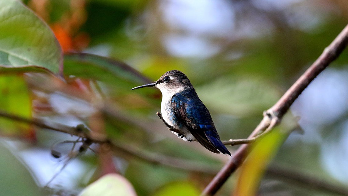 "Ten fun facts about the world's smallest bird: Cuba's ""bee hummingbird"""