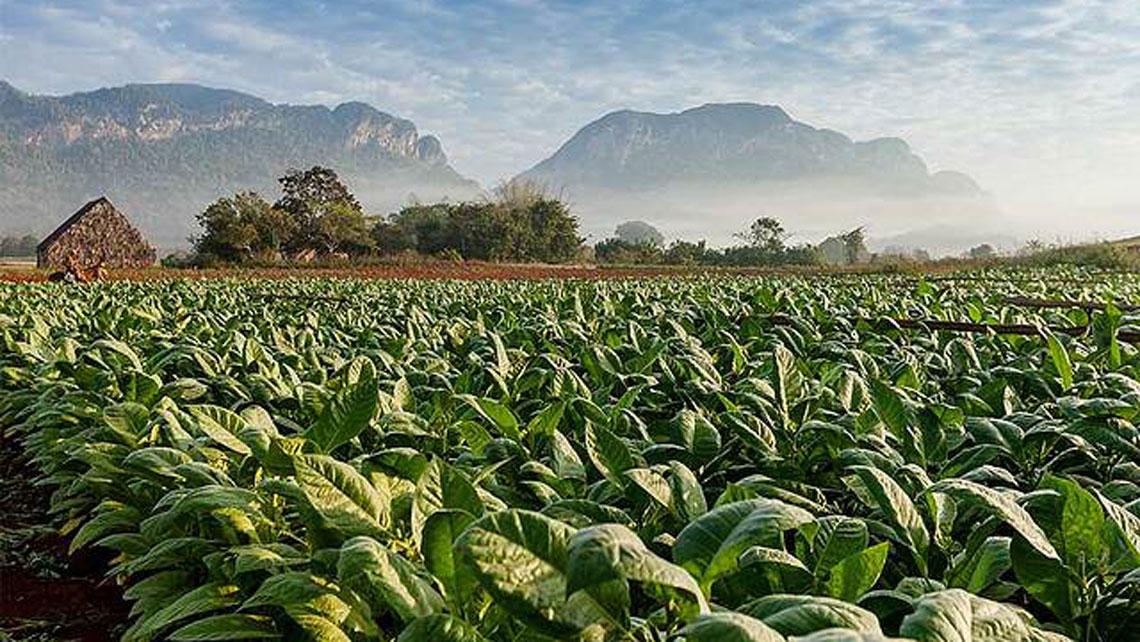 Tobacco field in the beautiful Valle de Viñales