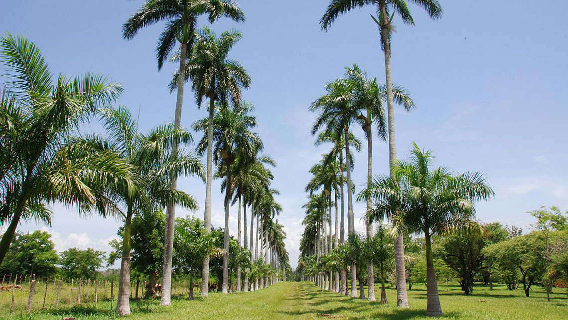 Royal Palms in the Botanical Garden of Cienfuegos