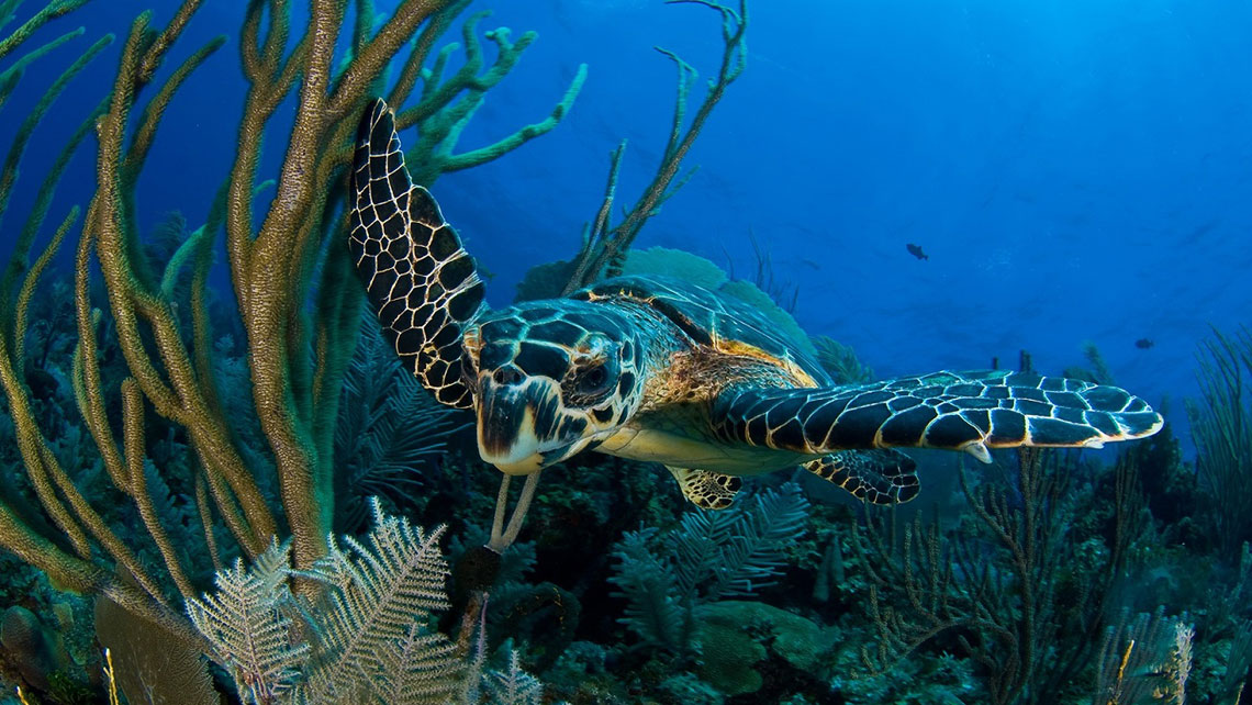 A sea turtle swimming among corals