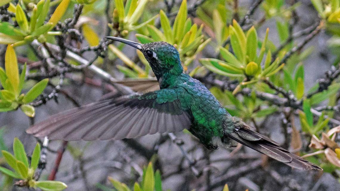 Cuban Hummingbird
