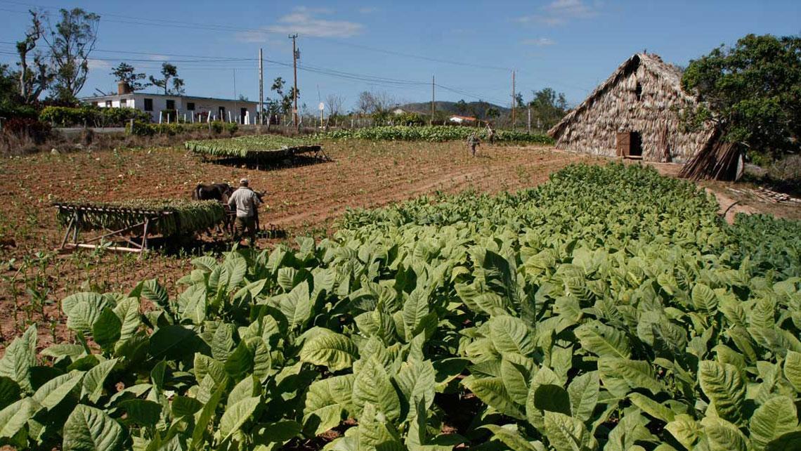 A tobacco plantation a farmer houses in Pinar del Rio