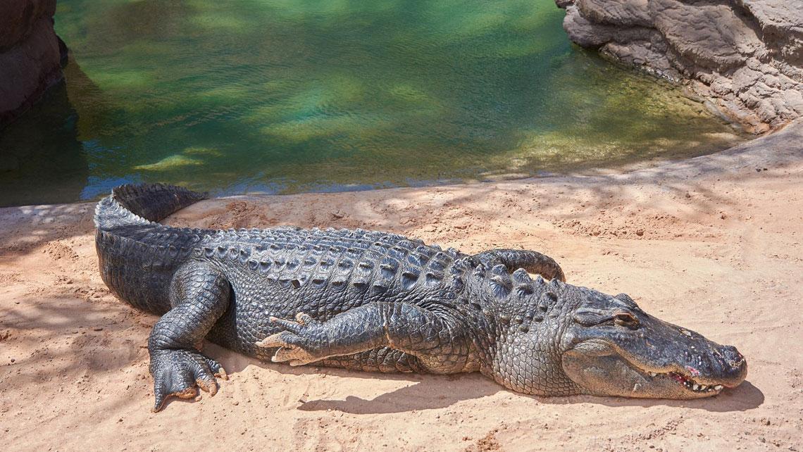 A Cuban crocodile