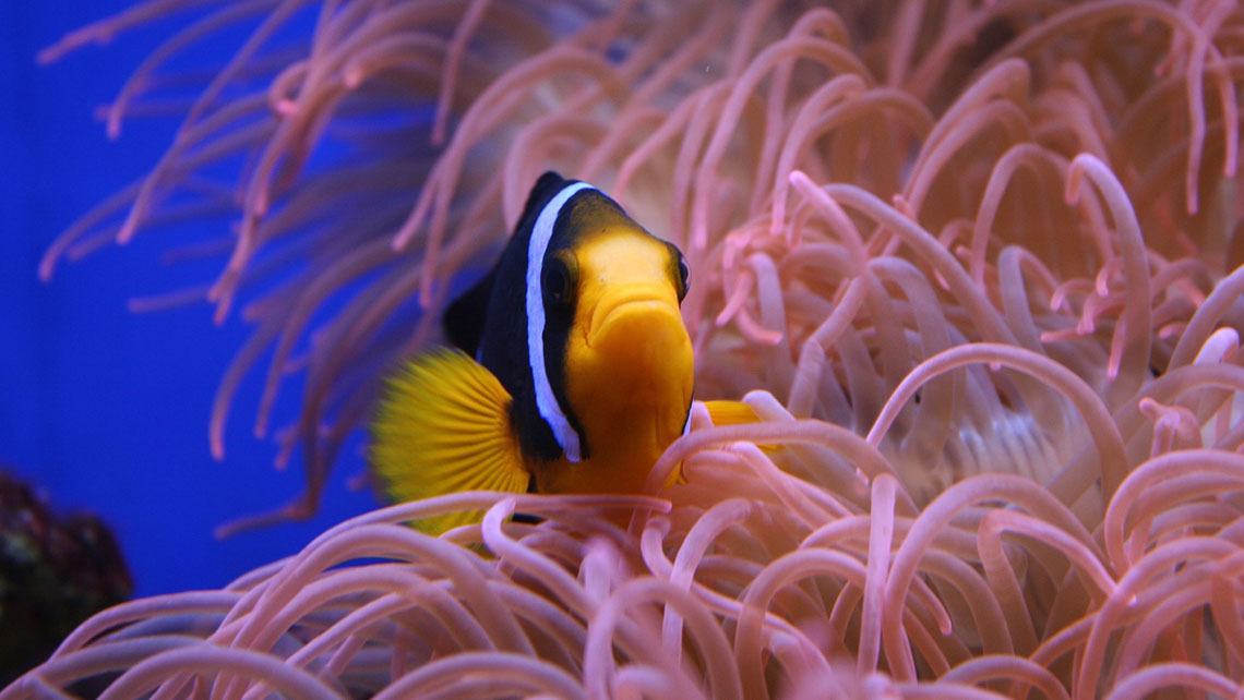 A tropical fish species by sea pink anemones