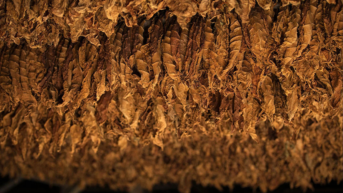Tobacco leaves drying in a barn