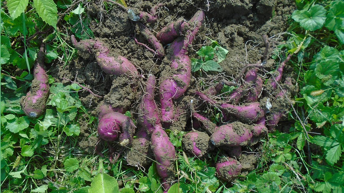 Unearthed sweet potatoes