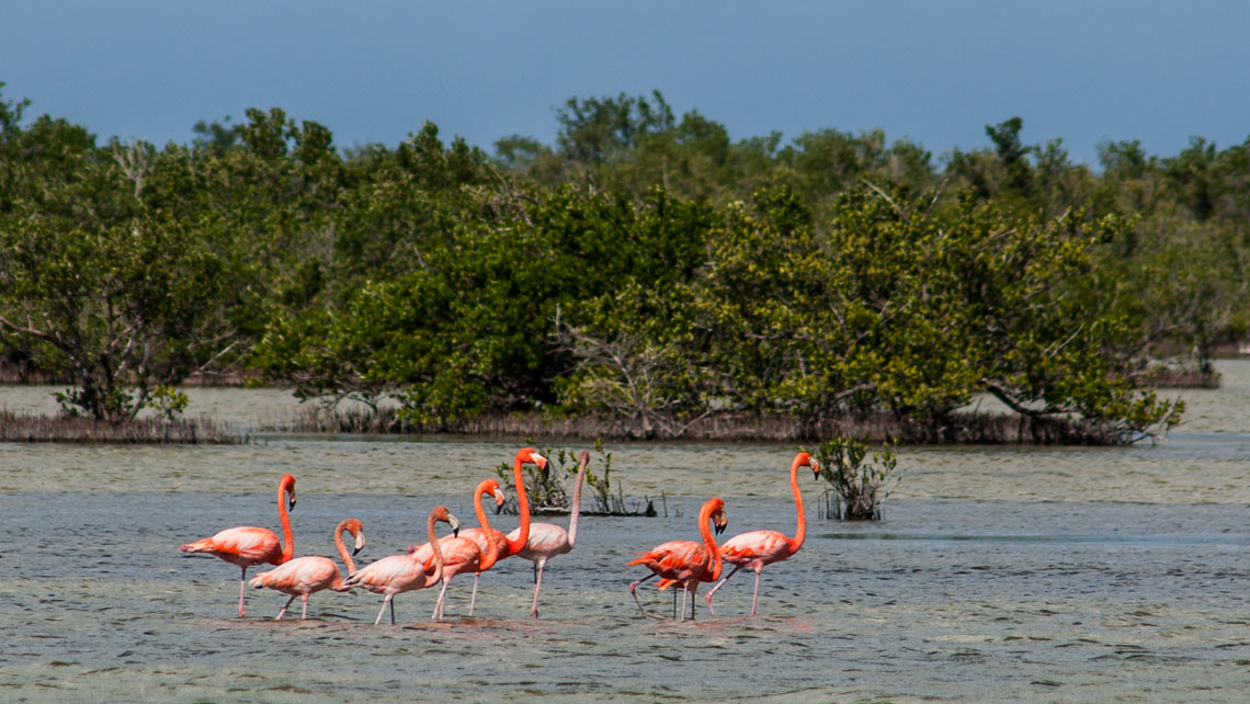 Caribbean flamingos in the Zapata Swamp